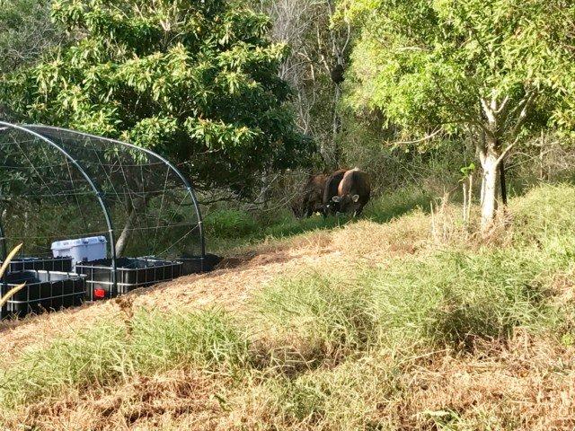 Cows invade the garden!