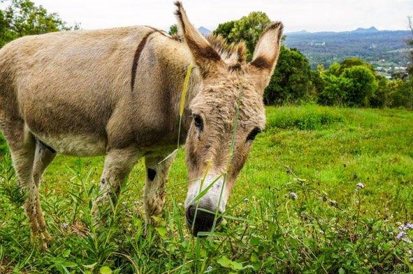 Jackie the donkey