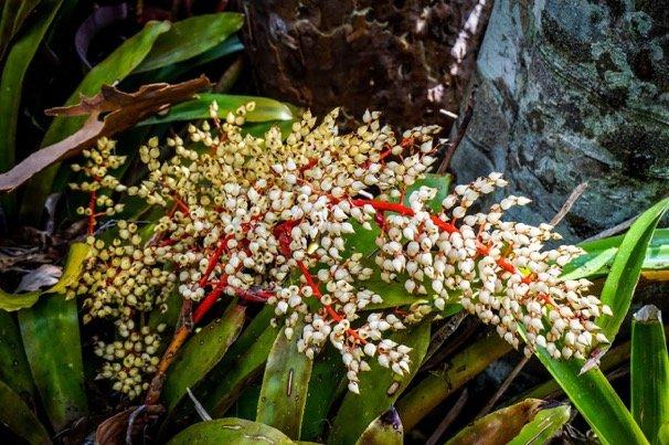flowering brom
