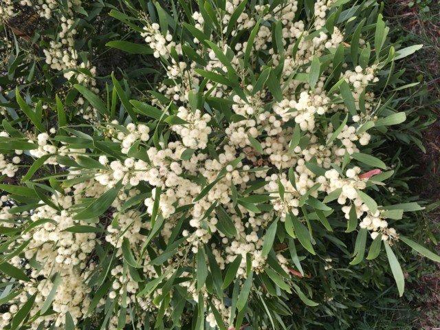 Wattle blooms