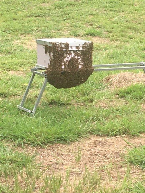 Yandina hive bee swarm