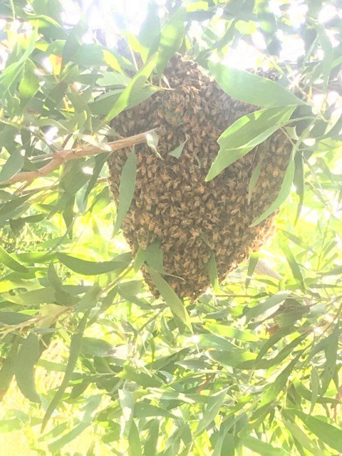 honey bee swarm tree